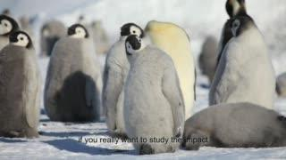 Melting sea ice threatens emperor penguins, study finds