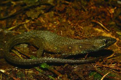 A new, beautifully colored lizard discovered in the Peruvian Andes