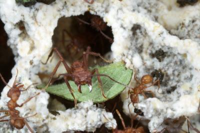 Fungus farming ant genome reveals insight into adaptation of social behavior