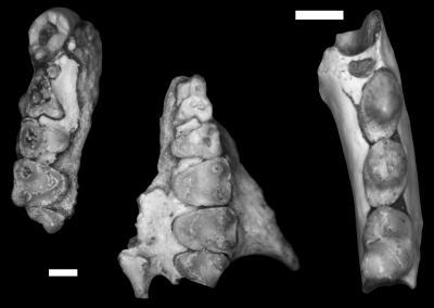 Mescalerolemur horneri: Anthropologist discovers new fossil primate species in Devil's Graveyard