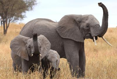 African elephant genome suggests they are superior smellers