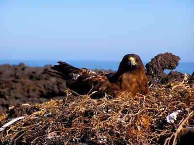 Galápagos hawks hand down lice like family heirlooms