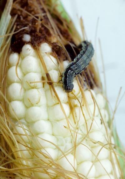 Bt sweet corn can reduce insecticide use