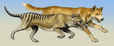 Thylacine hunting behavior: Case of crying wolf? | Science Codex
