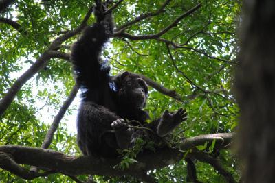 Chimp on a bed or nest in the Ugandan forest