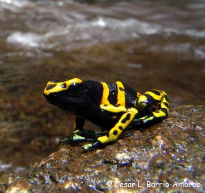 Athletic frogs have faster-changing genomes
