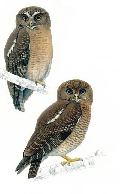 Camiguin and Cebu: 2 new Hawk owls discovered in the Philippines