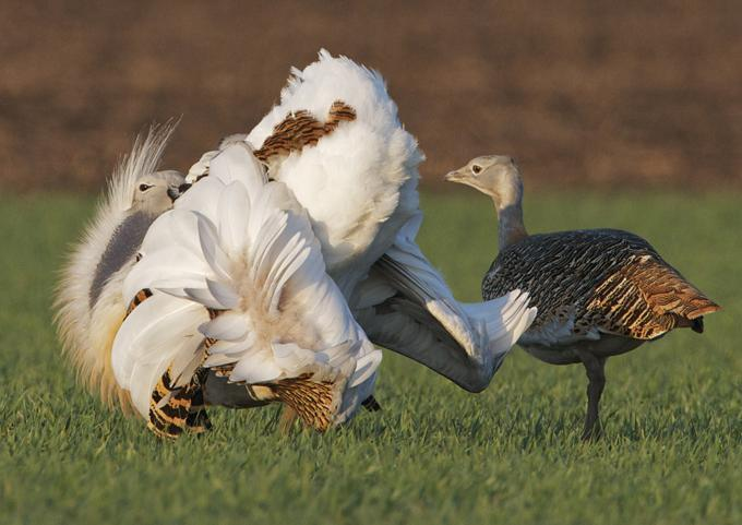 Males of great bustard self-medicate to appear more attractive to females