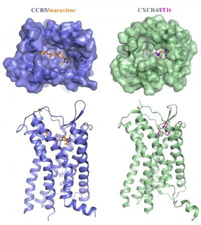Molecular structure reveals how HIV infects cells