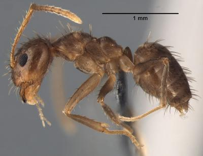 Invasive 'Rasberry Crazy Ant' in Texas now identified species
