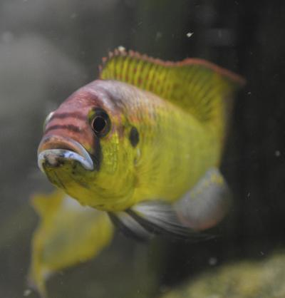 Stanford researchers discover the African cichlid's noisy courtship ritual