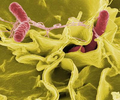 UCSB researchers find a way to detect stealthy, 'hypervirulent' Salmonella strains