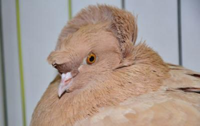 Mutant gene responsible for pigeons' head crests