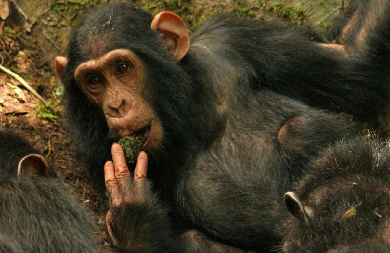 Study shows how chimpanzees share skills