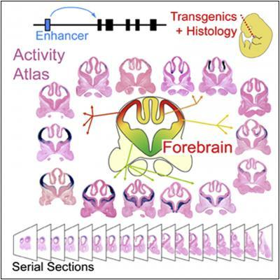 Genome-wide atlas of gene enhancers in the brain online