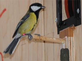 Being lower in pecking order improves female tit birds' memory