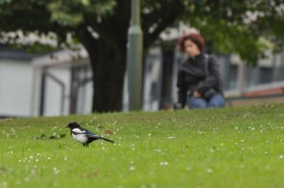 New study takes the shine off magpie folklore