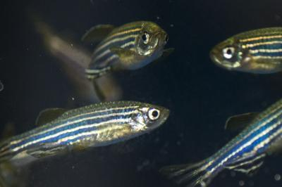 Zebrafish model of a learning and memory disorder shows better treatment