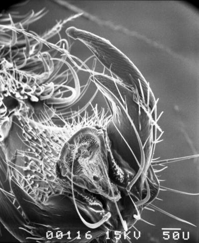 honingbijen microscoop foto uniek proeven met poot tarsus smaakpapillen