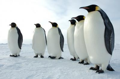 Emperor penguins threatened by Antarctic sea ice loss