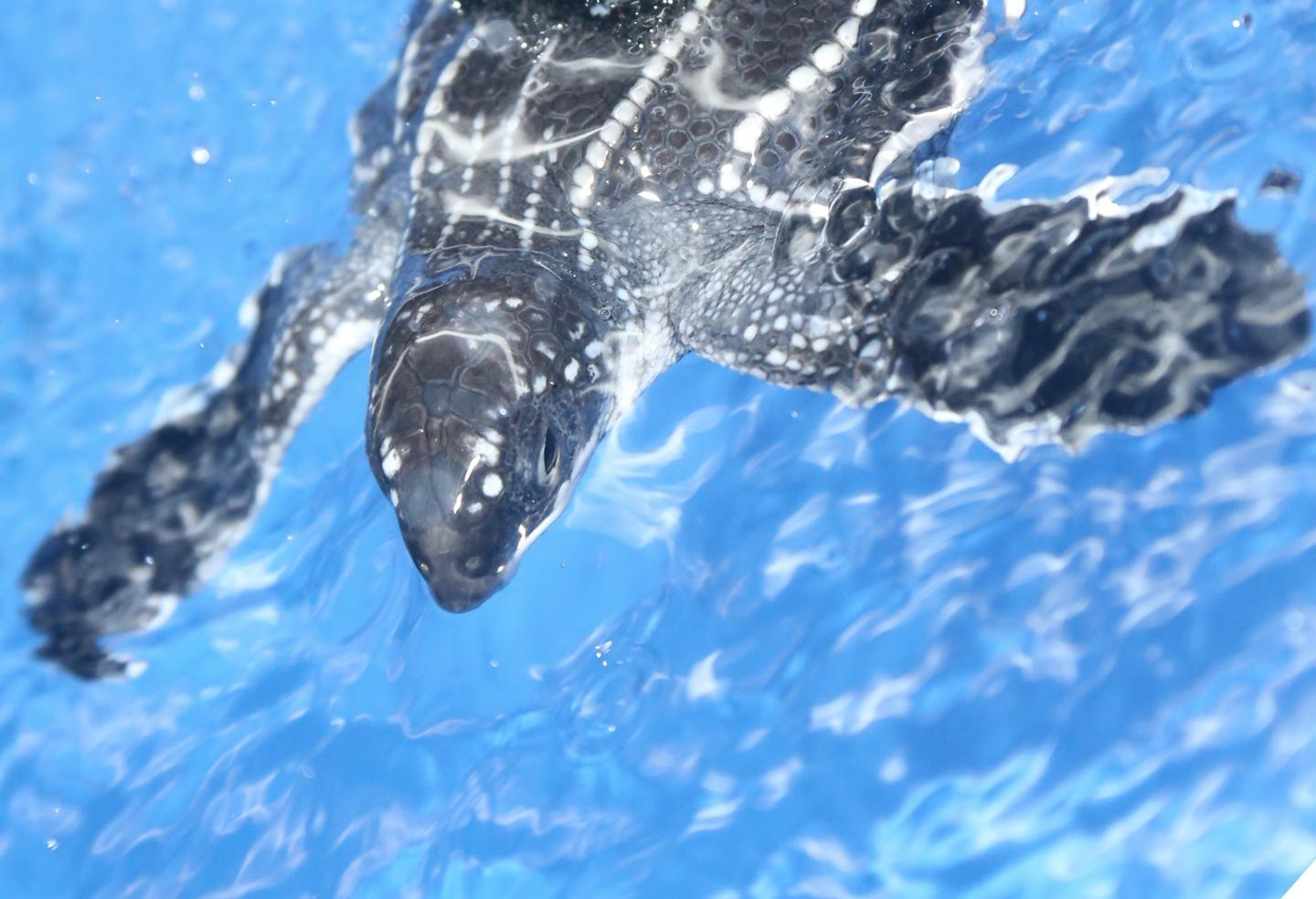 Plump turtles swim better: First models of swimming animals