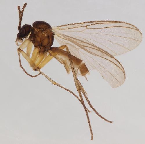 Four new fungus gnat species from the Scandinavian north