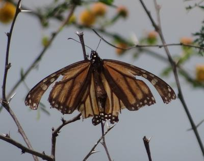 For monarchs to fly north, first they've got to chill