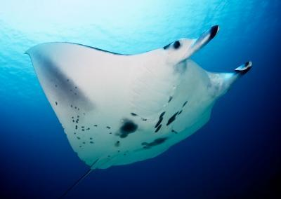 Key environmental factors influencing manta ray behavior identified