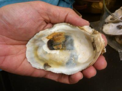 Scientists find higher concentrations of heavy metals in post-oil spill oysters from Gulf of Mexico