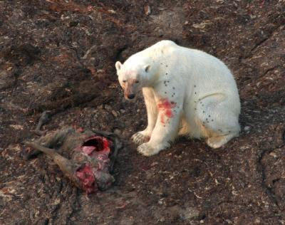 Polar bear diet changes as sea ice melts