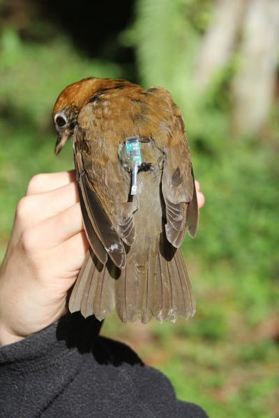York University researchers use bird 'backpacks' to put wood thrushes migration on the map