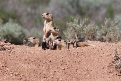 Prairie Dog Coalition - White Tailed Prairie Dog