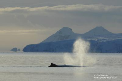 Music with dinner: Whales sing during foraging season, not just while breeding