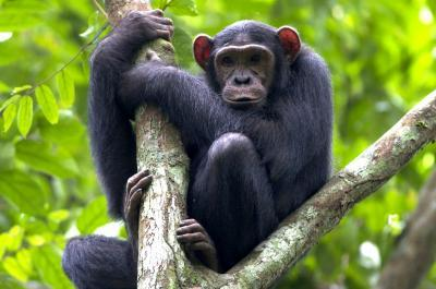 How to protect great apes in forest concessions