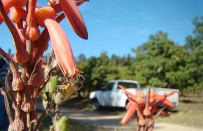 Small patches of native plants help boost pollination services in large farms