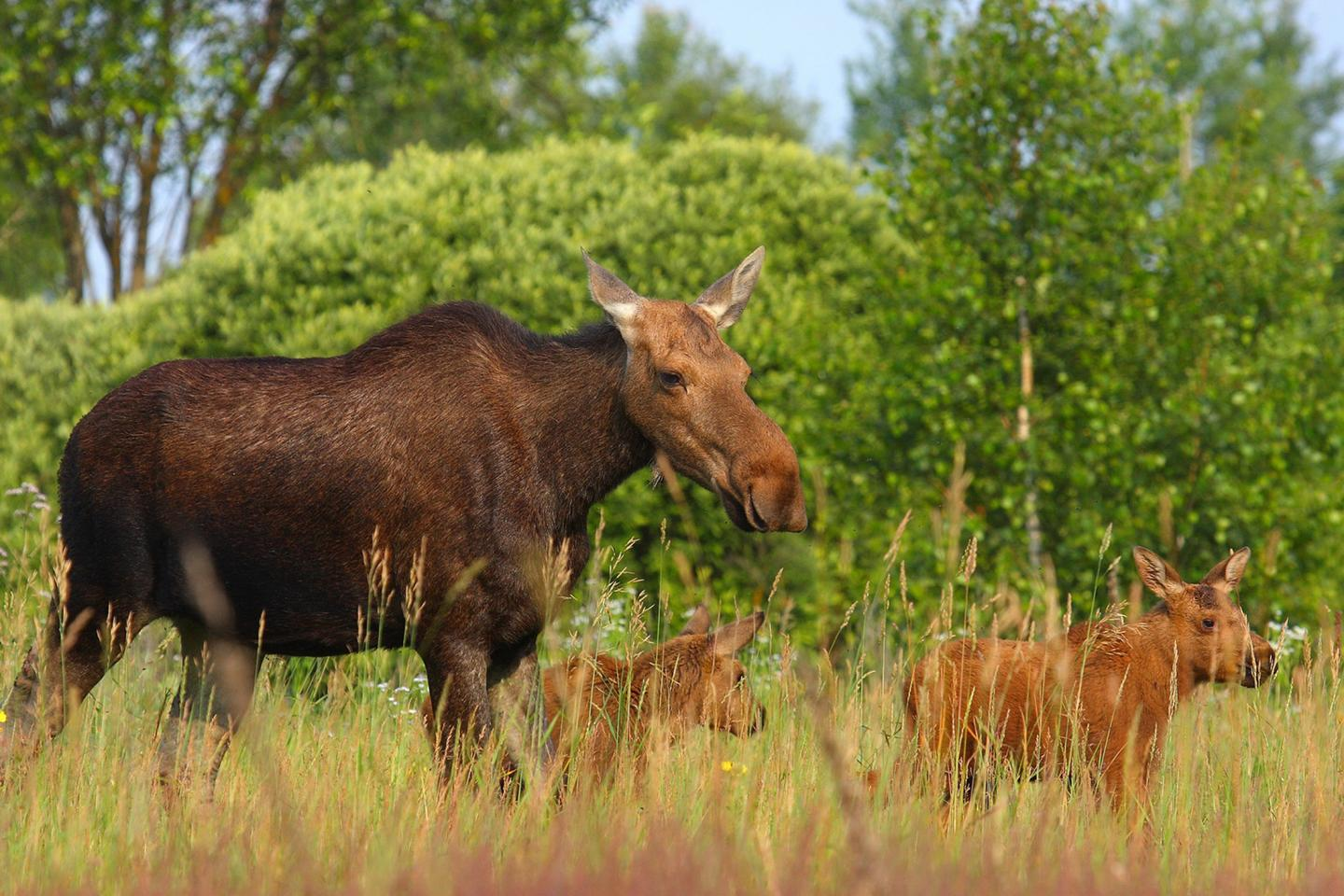 There are thriving wildlife populations in Chernobyl