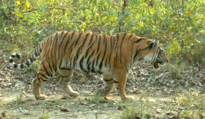 Scientists put attitudes toward tigers on the map