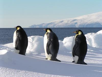 Sea ice: How Emperor penguins siesta between long foraging periods