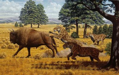 Saber-toothed cats not driven to extinction by lack of food (in California)
