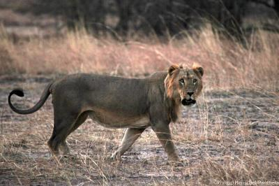 New study reveals lions are rapidly losing ground in Africa