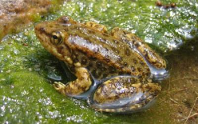 Blood samples show deadly frog fungus at work in the wild