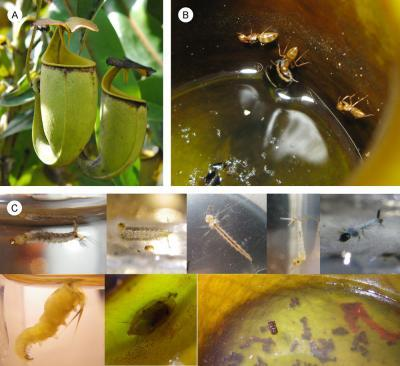 Ants and carnivorous plants conspire for mutualistic feeding
