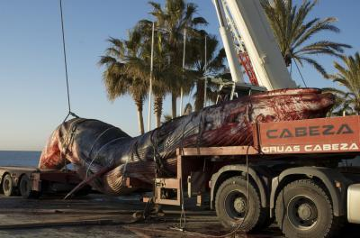 The fin whale, under more threat in the Mediterranean than thought