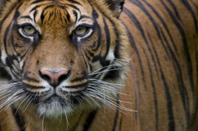 Researchers discover human activity threatens Sumatran tiger population