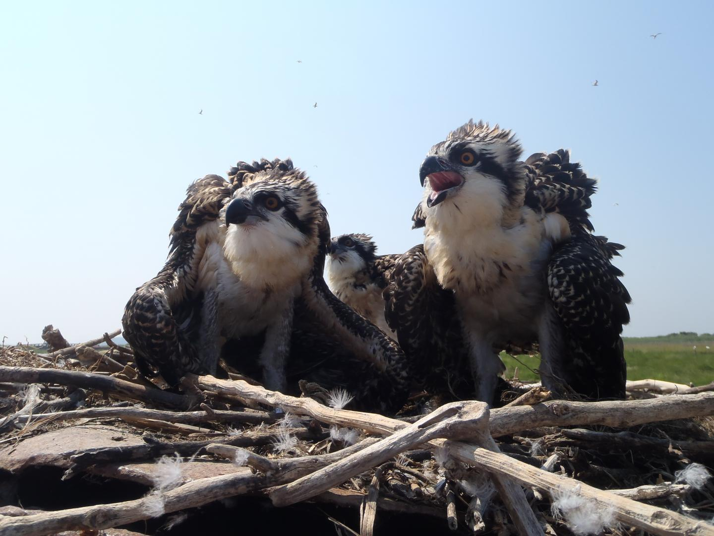 Pharmaceuticals and the water-fish-osprey food web