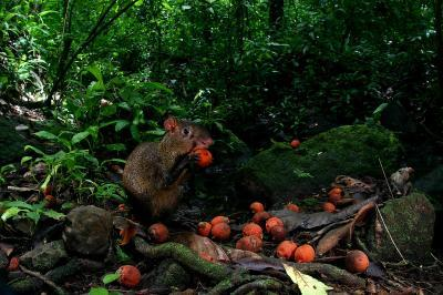 Re-caching: Thieving rodents save tropical trees