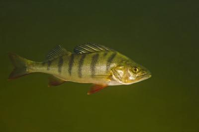 Mood-modifying drugs for humans also alter fish behavior