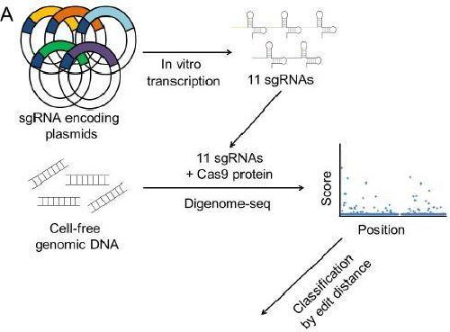 New tool for efficiently validating the accuracy of CRISPR-Cas9 reactions
