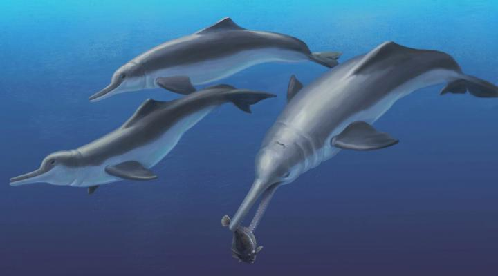 Isthminia panamensis: New species of ancient river dolphin discovered