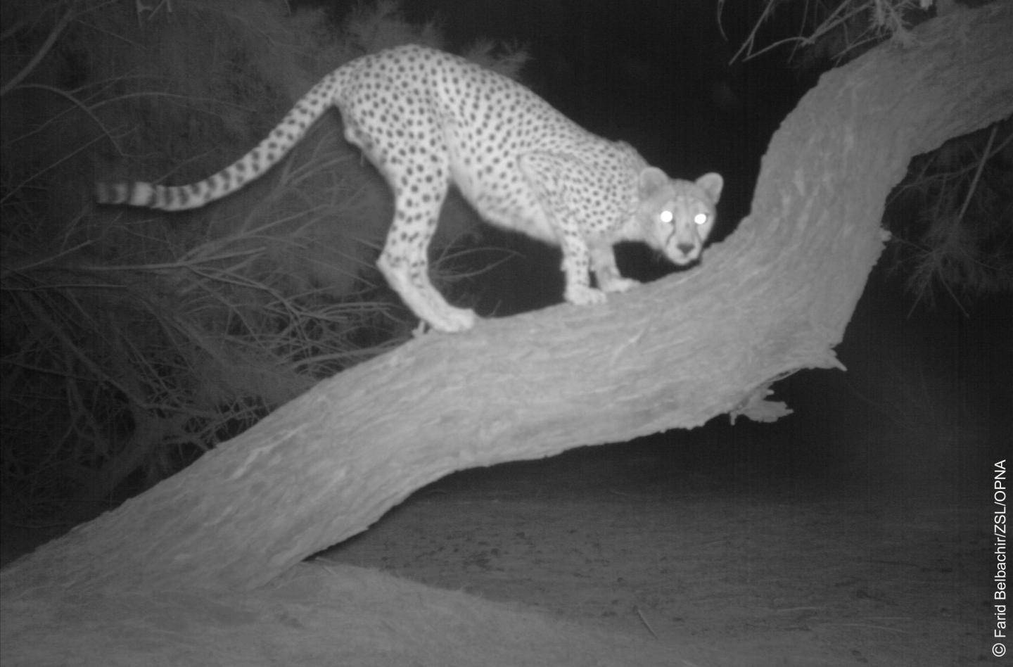 One of the world's rarest large cats, the Saharan cheetah, caught on film!